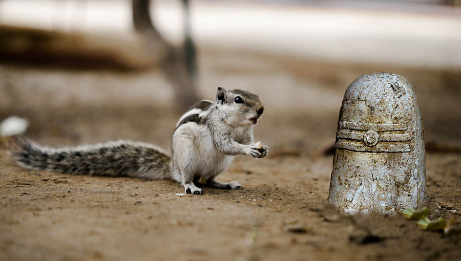 One Animal Animals In The Wild No People Food Eating Food And Drink Animal Wildlife Chipmunk Selective Focus Day Close-up Nature Outdoors Vertebrate Looking Small Hungry Pray Photo Shiva Squirrel