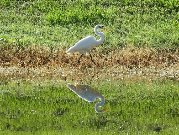 Florida Wildlife Bird Great Egret Pond Water Water Reflections Grassy Bank Beauty In Nature From A Distance Wildlife Photography