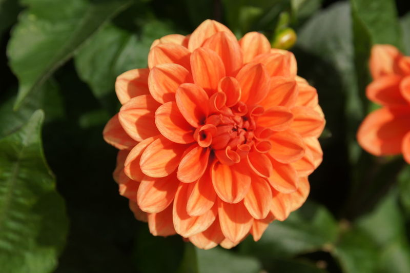 Bright Orange Dahlia in the Sun Dahlia Flower Flowering Plant Freshness Close-up Beauty In Nature Plant Petal Fragility Vulnerability  Inflorescence Flower Head Orange Color Growth Nature Focus On Foreground No People Leaf Plant Part Outdoors