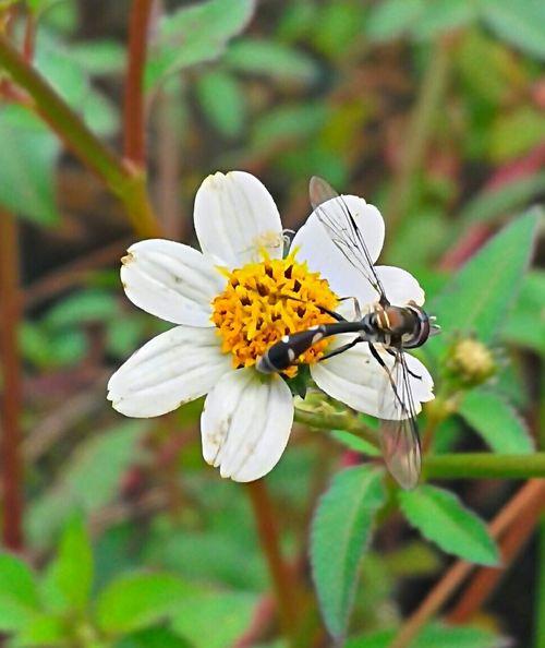 Beauty In Nature Blossom Brasil ♥ Coisa De Deus Coisa De Deus Natureza Perfeita Flower Insect Insetosdobrasil Peruíbe Polinization Wasp Nest Wasp Wasp Macro