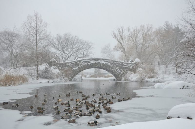 Flock Of Ducks Swimming In Frozen Pond By Gapstow Bridge At Central Park