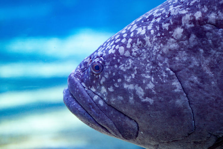 A Potato Bass at uShaka marine world Animal Body Part Animal Head  Blue Close-up Fish Head Focus On Foreground Grouper Natural Pattern Potato Bass Potato Cod Potato Grouper Purple First Eyeem Photo