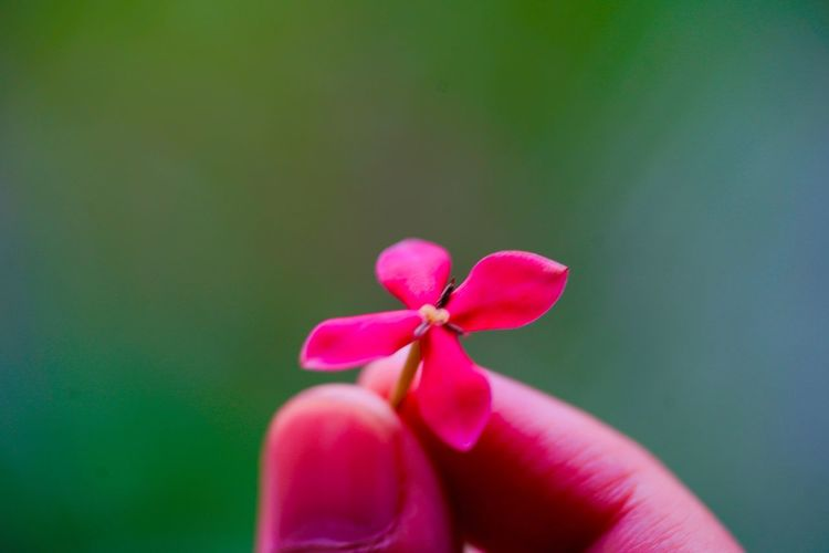 Rongon Ixora Coccinea Plant Life Flower Photography Beauty In Nature Flower Collection Human Hand Human Body Part Pink Color Hand Flower Flowering Plant Freshness Holding Plant Human Finger Beauty In Nature Vulnerability  Fragility Petal Nature Body Part Close-up