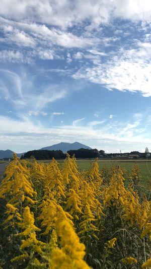セイタカアワダチソウからの筑波山 筑波山 セイタカアワダチソウ Sky Beauty In Nature Tranquil Scene Tranquility Field Plant Cloud - Sky