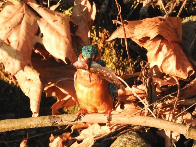 Animal Themes Animals In The Wild Bird Day King Fisher Leaf Leaves Nature No People One Animal Outdoors Sunlight