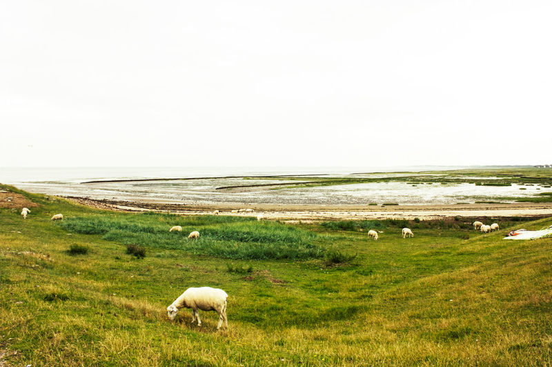 Sheep grazing on the damm in Rantum, a small town on the island Sylt in Germany Sheep Grazing Sylt Rantum Rantum,Sylt Wattenmeer Wadden Sea Norddeutschland Tideland Mudflats North Sea Rural Scene Landscape Off Season Damm Island Idyllic Scenics Nature Outdoors Flock Of Sheep Nordsee Friesland