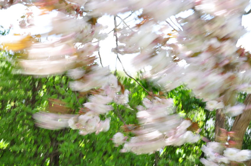 Cherry Blossoms Motion Blur Wind Blown Blurred Motion Cherry Tree Flower Freshness Motion Moved By Wind Prunus Serrulata Shirofugen Sakura Blossom Wind