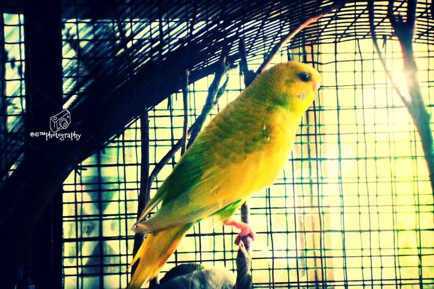 lovle the love bird