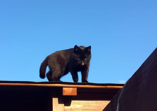 Cat Clear Sky Day Domestic Animals Domestic Cat One Animal Outdoors Pets Roof