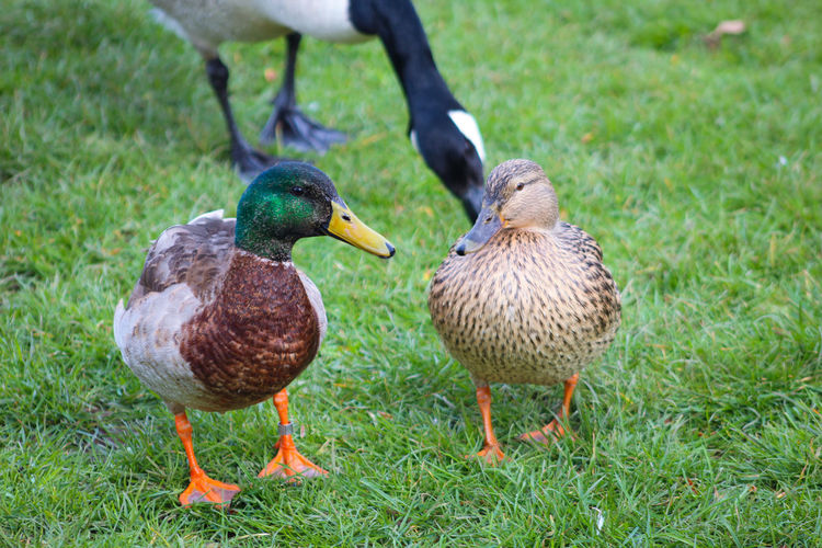 Male Animal Lakeside EyeEm Best Shots EyeEm Nature Lover EyeEmBestPics EyeEm Best Shots - Nature Beauty In Nature Wonders Of Nature Bird Togetherness Duck Female Animal Field Feather  Grass Green Color Mallard Duck Water Bird