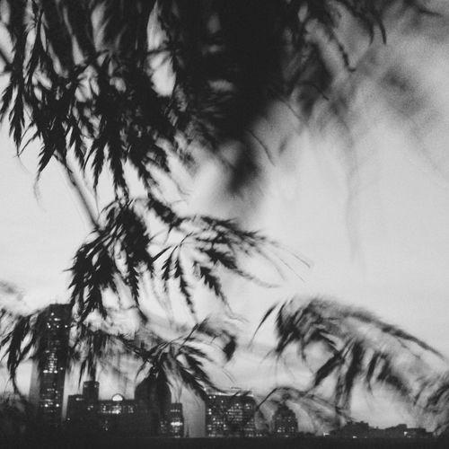 Photography In Motion JohnRuggieri Blackandwhite Boston Japanese Maple Sky Trees Black & White Skyline Wind