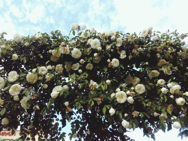 White roses White White Rose White Collection Flower Flower Head Tree Sky Close-up Plant In Bloom Plant Life Botany Blossom Blooming