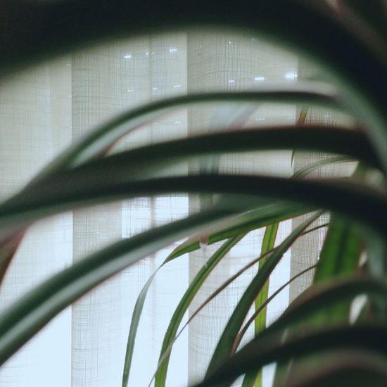 Light Curtains Indoors  Plants Plant Planta Green Plantas Verde Home Interior Cortinas Blue Light Indoors  Tesis99 Macetas Maceta Pot Pots Leaf Huawei P9. Huawei P9 Leica HuaweiP9