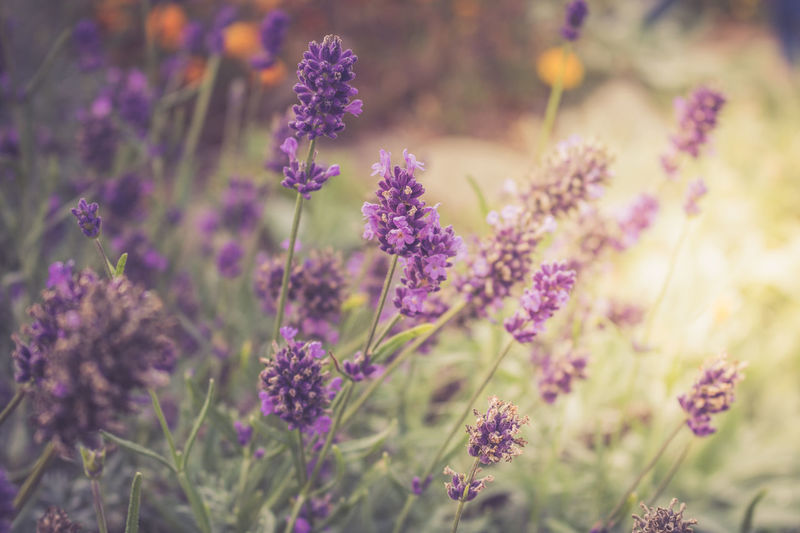 Lavendelblüte Beauty In Nature Close-up Day Field Flower Flower Head Flowering Plant Focus On Foreground Fragility Freshness Growth Land Lavendel Lavender Lila Natur Nature No People Outdoors Petal Plant Purple Selective Focus Vulnerability