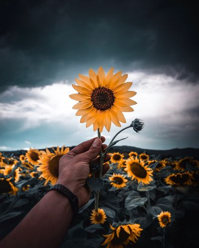 Cropped hand of man holding sunflower on field against cloudy sky