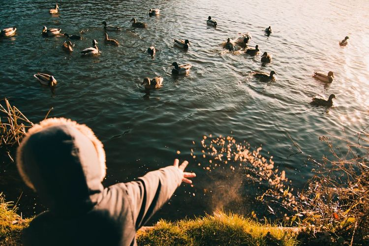 Organic oats for the ducks Water Real People Leisure Activity Lifestyles Nature Men One Person Sunlight High Angle View Vertebrate Animal Wildlife Large Group Of Animals Animals In The Wild Day Lake Beauty In Nature Outdoors My Best Photo