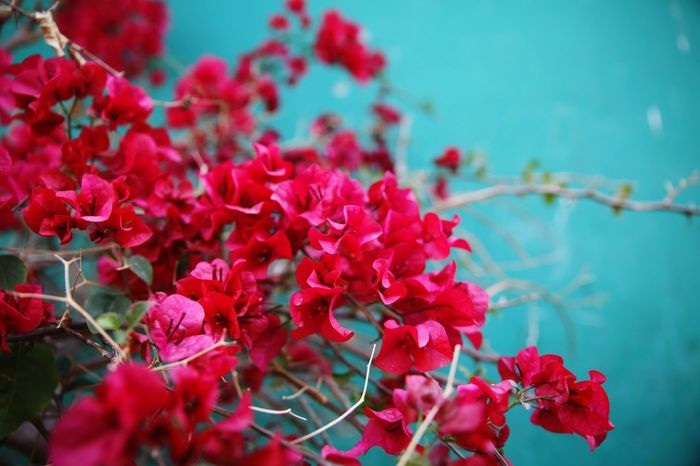 EyeEm EyeEm Best Shots EyeEm Gallery Flowers Green Green Color Pink Pink Color Pink Flower Green Wall Flowers, Nature And Beauty Water Red Bougainvillea Petal Close-up Plant