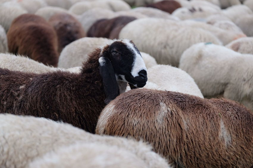 Sheep Flock Of Sheep Wool Agriculture Young Animal Togetherness Relaxation Close-up Livestock