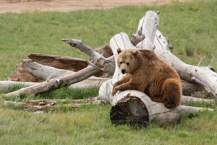 Bear Animal Animal Themes Animal Wildlife Grizzly Bear Mammal Nature No People One Animal Tree
