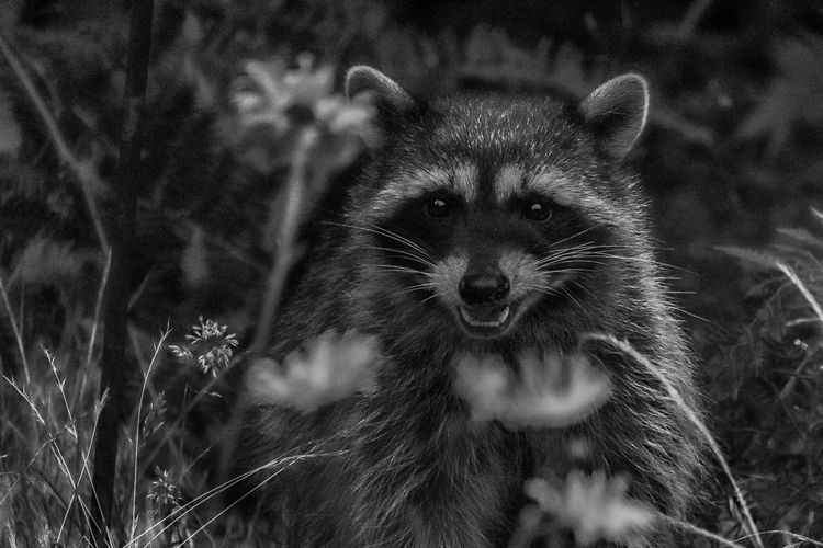 Raccoon Animal Mammal Animal Themes No People Close-up One Animal Animal Wildlife Portrait Animal Body Part Animals In The Wild Vertebrate Looking At Camera Outdoors Nature