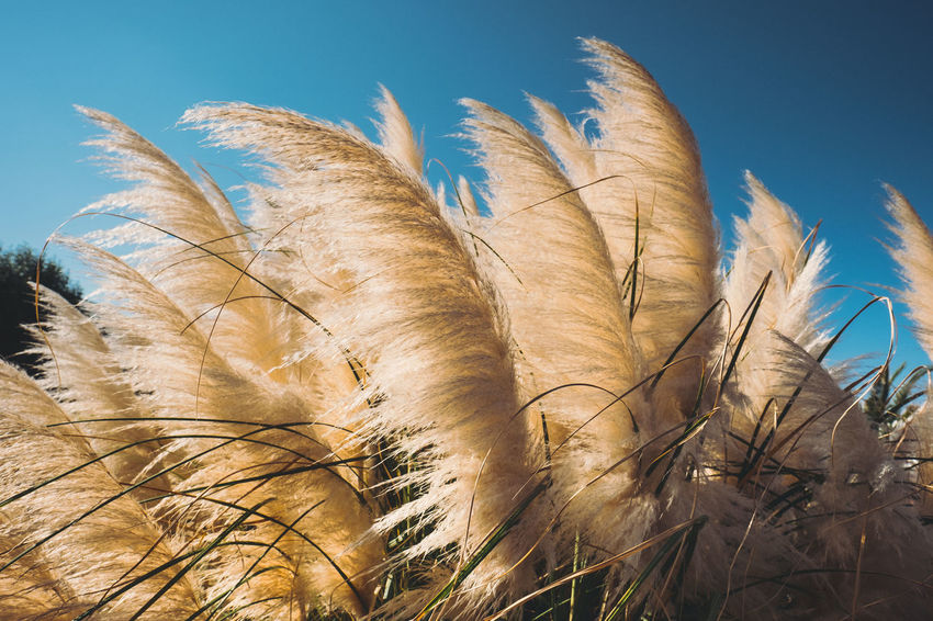 Beauty In Nature Blue Sky Bluesky Clear Sky Close-up Day Depht Depth Of Field Grass Grass Growth Nature Nature Nature Photography Nature_perfection No People Outdoors Perfection Sky Sunbeam Sunlight Wheat Wide Shot Wideangle Wind