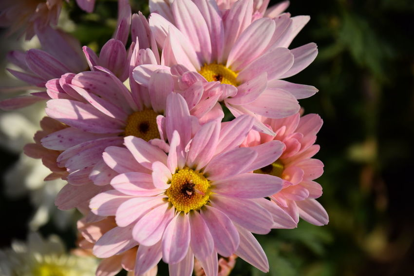Close up of daisy flowers. Daisy Flower Head Flower Pink Color Petal Insect Blossom Front Or Back Yard Close-up Plant Flowering Plant