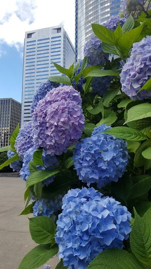 Close-up of purple flowering plant by building in city