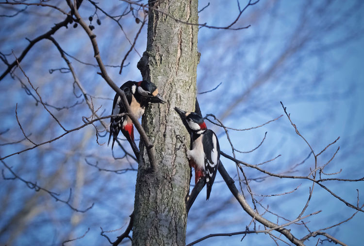 Two male woodpecker Dendrocopos Major Great Spotted Woodpecker Animal Themes Animal Wildlife Animals In The Wild Bare Tree Bird Branch Day Dead Plant Dried Plant Focus On Foreground Low Angle View Male Nature No People One Animal Outdoors Perching Sky Tree Tree Trunk Two Woodpecker Woodpecker