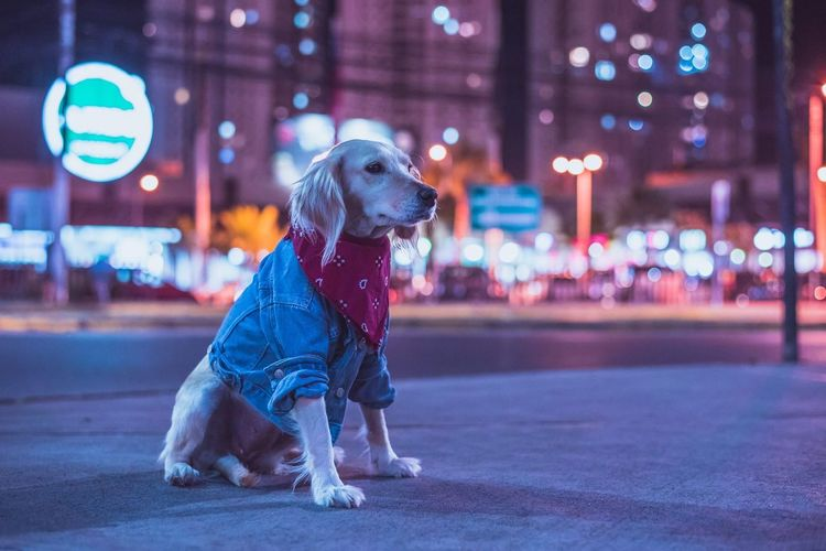 Dog looking away on road at night