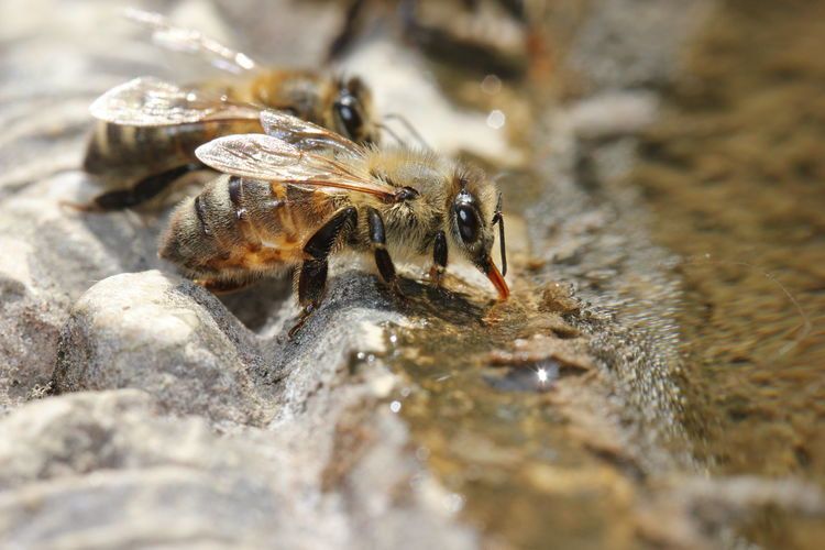 Bees EyeEmNewHere Proboscis Animal Animal Themes Animal Wildlife Animals In The Wild Bee Close-up Day Drinking Insect Invertebrate Minibeast Nature No People One Animal Outdoors Rock Rock - Object Selective Focus Solid Tongue Water