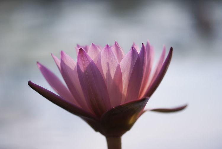 A pink waterlily is illuminated by the late afternoon sunlight, on a summer day. Aquatic Bloom Blooming Blossom Botanical Botany Floral Flower Lake Light Lilies Lily Petal Pink Plant Pond Shadow Shadows Spring Springtime Summer Sunlight Water Waterlilies Waterlily
