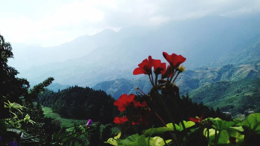 Natural flowers on the top of the Fansipan mountain Sa Pa Lao Cai. In Vietnam Natural Flowers On The Of Top Of The Fansipan Mountain Sa Pa Lao Cai Vietnam Flower Head Flower Tree Mountain Red Sky Plant Close-up Cloud - Sky