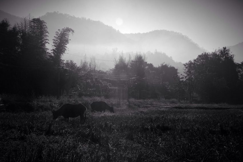 Buffalo Nature Blackandwhite Photography Black And White Blackandwhite Field Thailand Pai Thailand Photography EyeEmNewHere Connected By Travel Lost In The Landscape