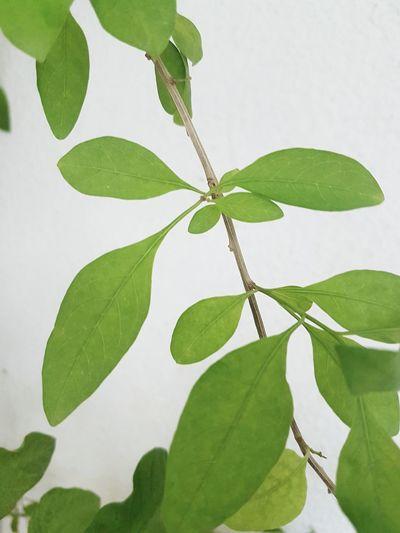 Leaf Nature Close-up Growth Plant Green Color Freshness Herbal Medicine