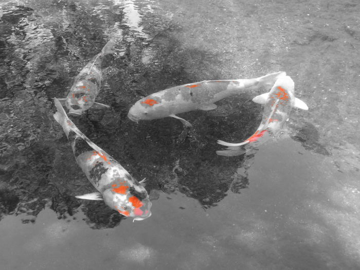 鯉 Carps