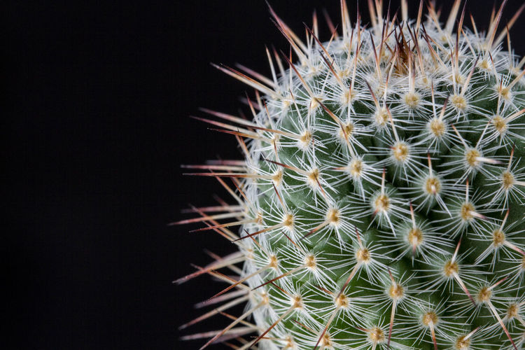 cactus Arid Climate Barrel Cactus Beauty In Nature Black Background Cactus Close-up Communication Focus On Foreground Green Color Growth Indoors  Nature Needle - Plant Part No People Plant Potted Plant Sharp Sign Spiked Spiky Studio Shot Succulent Plant Thorn Warning Sign