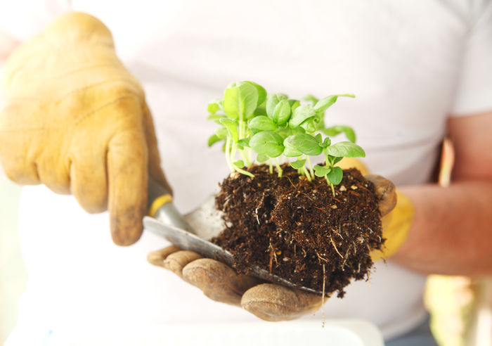 Man holds trowel with basil seedlings Basil Gardening Growing Man Plants Tshirt Casual Clothing Close-up Clump Of Dirt Cultivated Day Dirt Ecology Environment Holding Horticulture Indoors  One Person Real People Root Seedling Transplanting Trowel Work Gloves