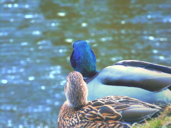if ducks telling a story Ducks Animal Animal Themes Animals In The Wild Animal Photography Animal_collection Animal Love Birds_collection Bird Photography Birdwatching Telling Stories Differently Telling A Story Togetherness Northgermany EyeEm Nature Lover Eye4photography  Near And Far Wild Nature_collection Picoftheday Springtopic Check This Out Memories Atmospheric Mood Blue