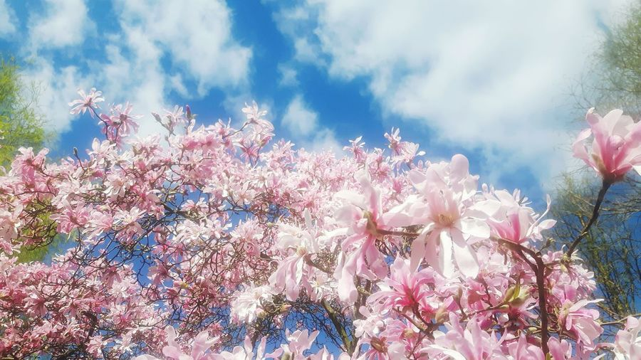 Low Angle View Beauty In Nature No People Nature Growth Sky Flower Cloud - Sky Outdoors Day Tree Freshness Close-up Fragility Magnolias Blooming Magnolienknospe Magnolia Loebneri Flower Garland Magnolia Blossom Flower Head Branch Magnolia Tree Blossom Celebration Tranquility