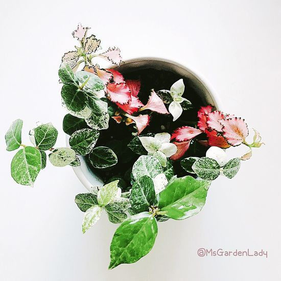 White Background Leaf Flower Freshness Food Healthy Eating Indoors  Plant Flower Head Nature EyeEm Best Shots Planting High Angle View Pink Leaves Decoration EyeEm Gallery Beauty In Nature Lifestyles