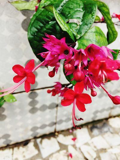 Flowers Dark Pink By Motorola