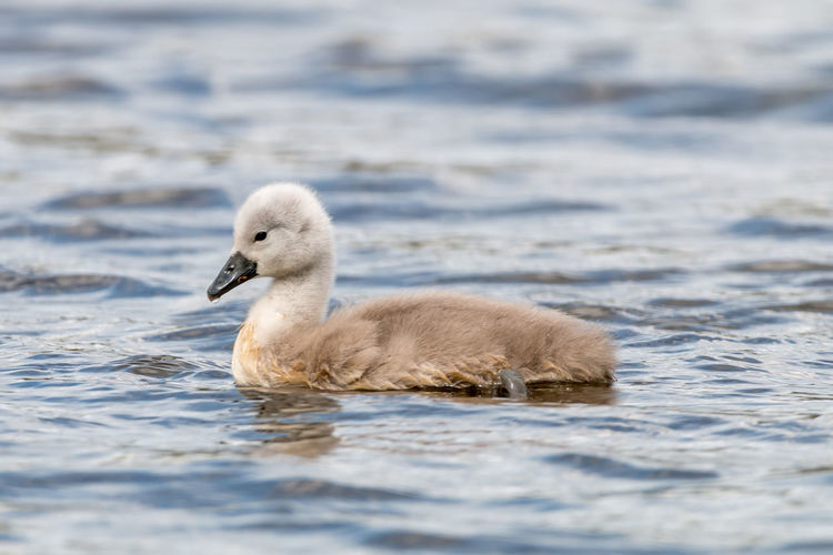 A lone Cygnet having a swim on the local canal. Animal Themes Animal Wildlife Animals In The Wild Bird Close-up Cygnet Day Lake Nature No People One Animal Outdoors Swan Swimming Water Water Bird Young Animal Young Bird