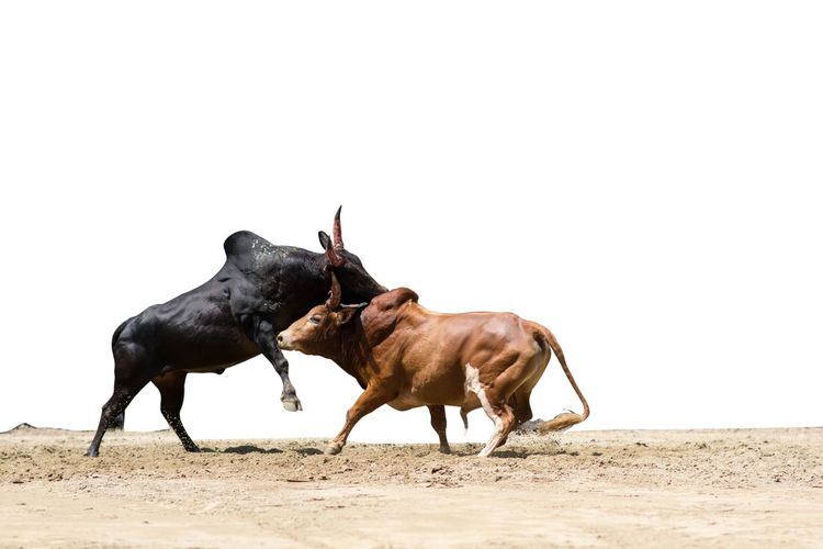 Side view of bulls fighting on land against clear sky