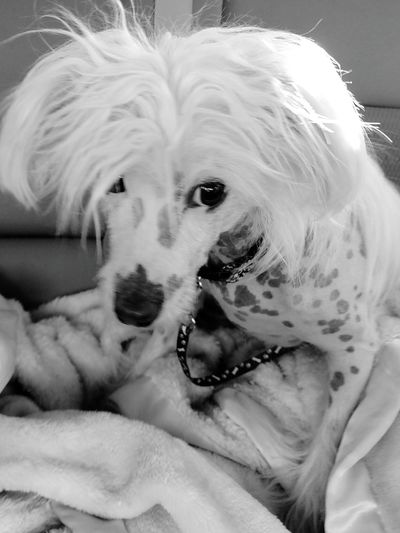 From My Point Of View I Love My Dog My Dog Baby Zoey My Dogs Are Cooler Than Your Kids Long Hair, Don't Care. Bad Hair Day Chinese Crested Chinese Crested Dog Car Ride  Dog Life Dog Days Adopt Don't Buy!!