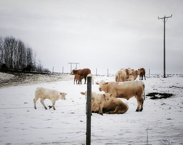 Animal Themes Livestock Animal No People Domestic Animals Agriculture Cold Temperature Winter Snow Outdoors Day Cows Freedom Happy Anímals