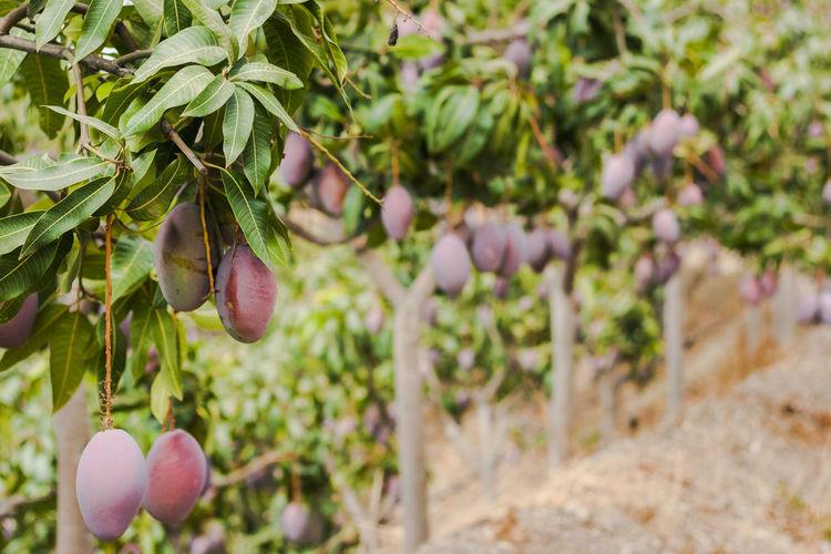 Mangoes hanging on tree