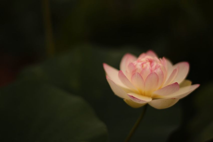 Isolated. EyeEm Nature Lover Flowers Lotus Fukui Japan Canon5Dmk3 CarlZeiss Planar Bokehlicious