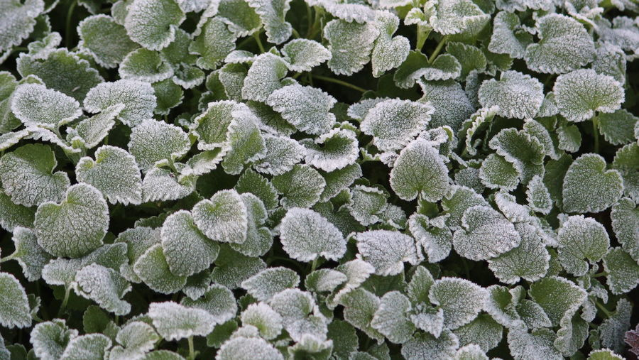 Backgrounds Beauty In Nature Close-up Day Flower Head Fragility Freshness Frost Full Frame Green Color Growth Nature No People Outdoors Plant