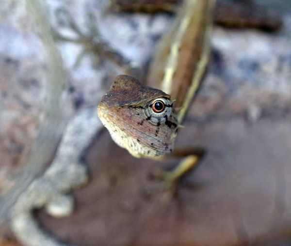 One Animal Animal Animal Themes Animal Wildlife Animals In The Wild Vertebrate Lizard Close-up Animal Body Part Reptile No People Nature Day Focus On Foreground Amphibian Selective Focus Outdoors Animal Head  Portrait Land