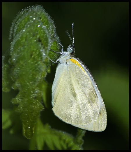 CABBAGE WHITE Butterfly Dew Water Drops Dew Drops Flutters Indian Butterfly Cabbage White Butterfly Wet Wings Bokeh Insects  Lepidoptera Early Morning Walk... Jungle Trail Sleppy Butterfly